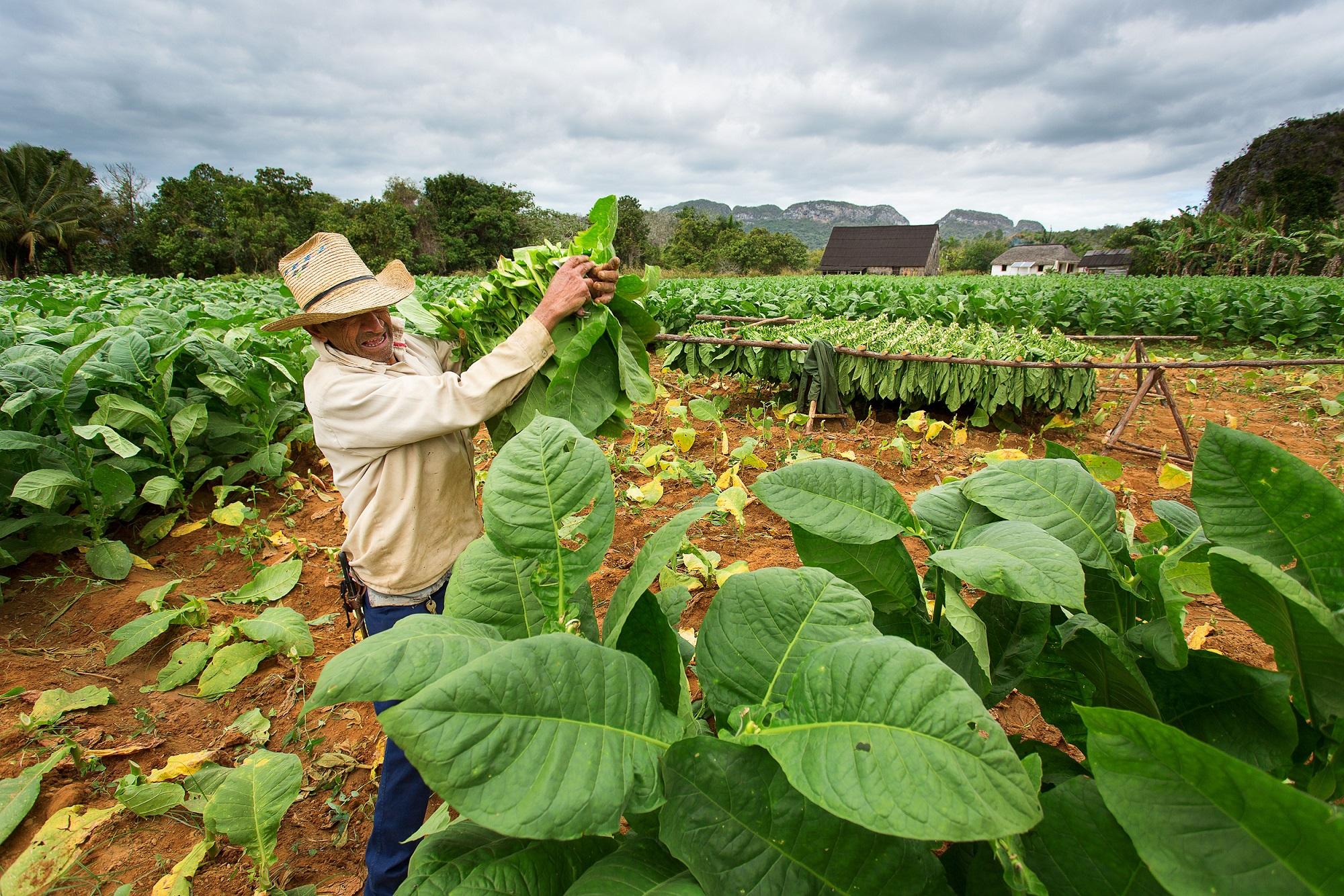 A Cuban Tobbaco farm